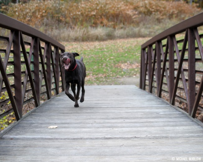 Chocolate Labrador Retriever running across a foot bridge in Natural Bridge State Park.