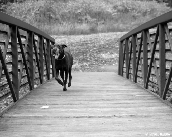 Chocolate Labrador Retriever running across a foot bridge in Natural Bridge State Park in black and white