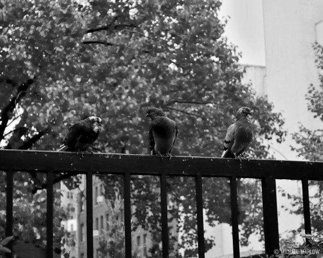three pigeons on a metal black fence with balusters