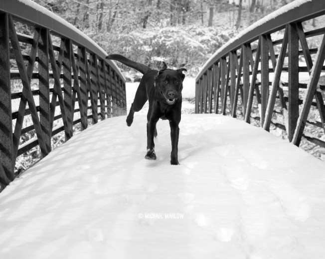 Izzy the Chocolate lab runs over an (early) snow-covered footbridge at Natural Bridge State Park. North Adams, Massachusetss. (Black and white version)