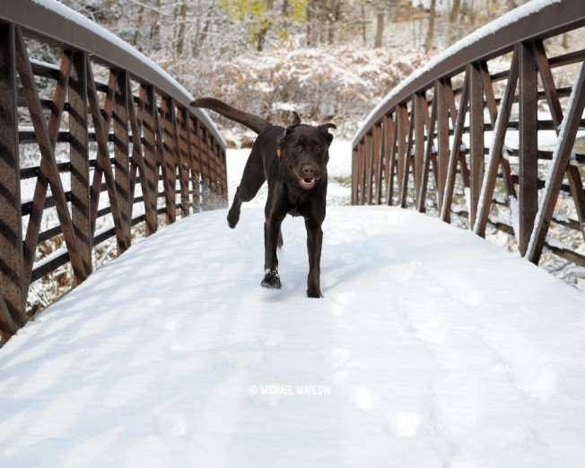Izzy the Chocolate lab runs over an (early) snow-covered footbridge at Natural Bridge State Park. North Adams, Massachusetss.