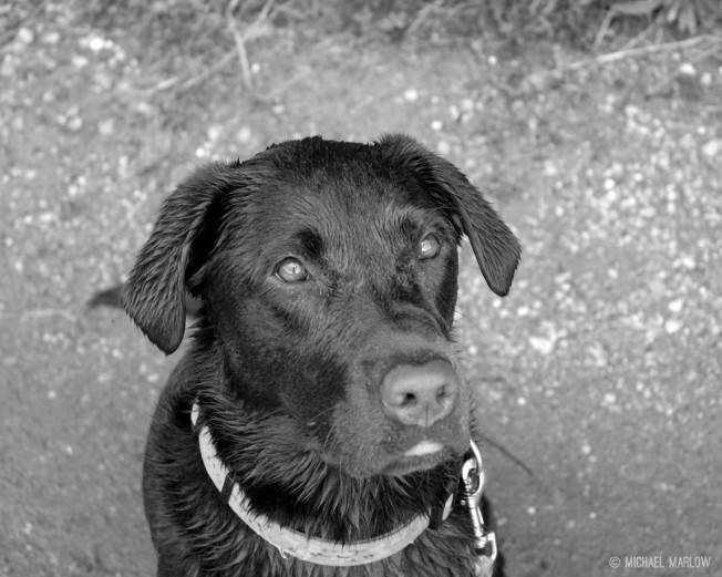 head only portrait of chocolate labrador retreiver with streaked wet hair