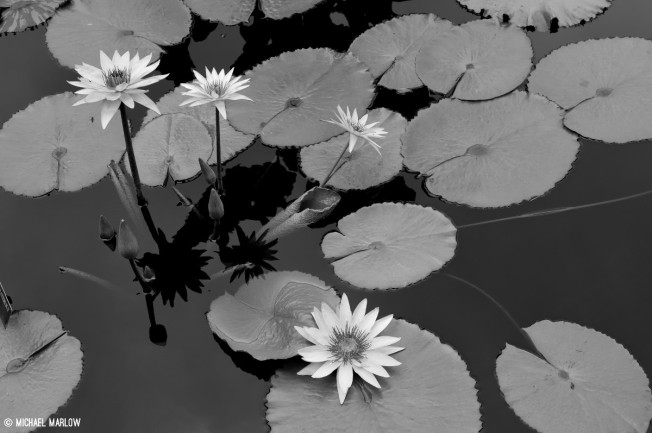 paddle-shaped leaves with three long-stemmed blossoms, one low-sitting over black water