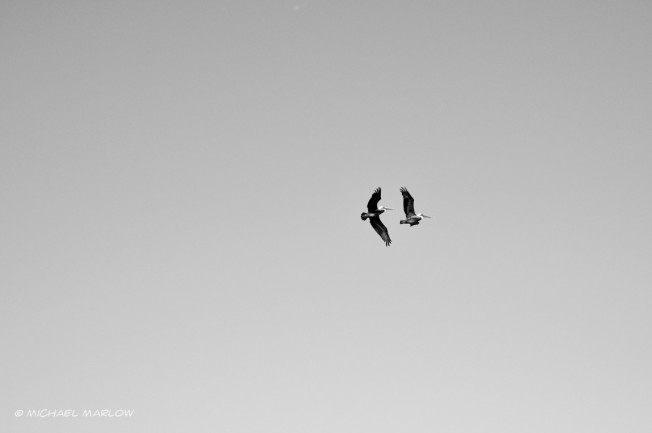 two pelicans with wings outstretched in a completely clear sky