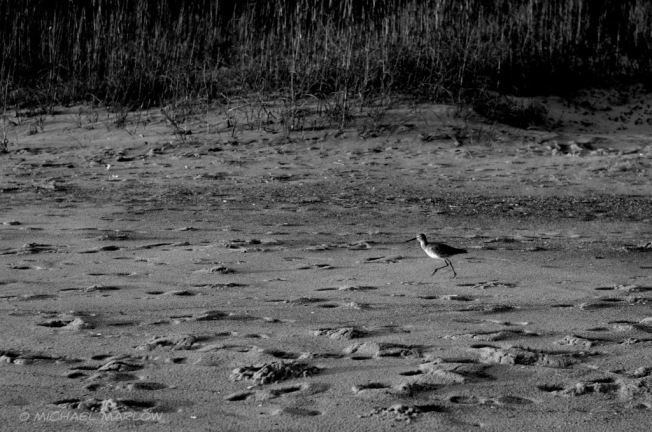sandpiper running over a sandy footprint-laden beach