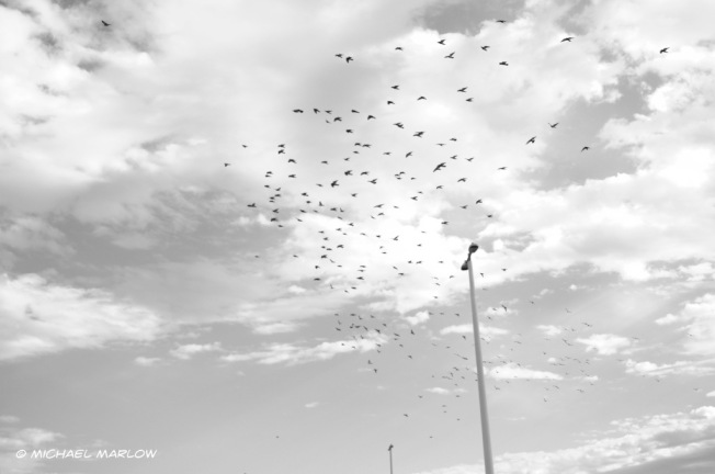 flock of small black birds in a bright snowy cloud skied with street lamps in the background